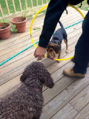 Latke and Zoey with hula hoop.JPG